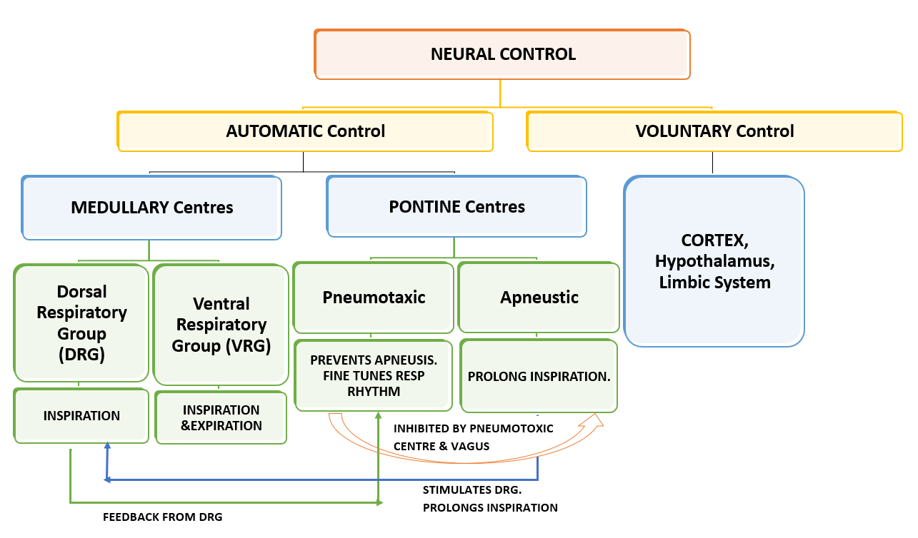 NEURAL CENTRES FOR RESPIRATION